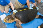 SeaWorld Returns Largest Rescued Loggerhead Sea Turtle In History To The Wild thumbnail image