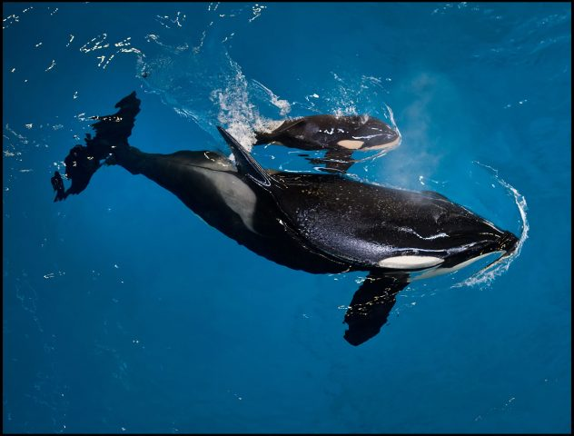 SeaWorld Welcomes Last Killer Whale Baby