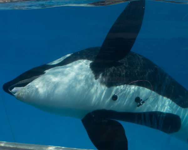 Scientists keep their finger on the pulse with new killer whale heart research