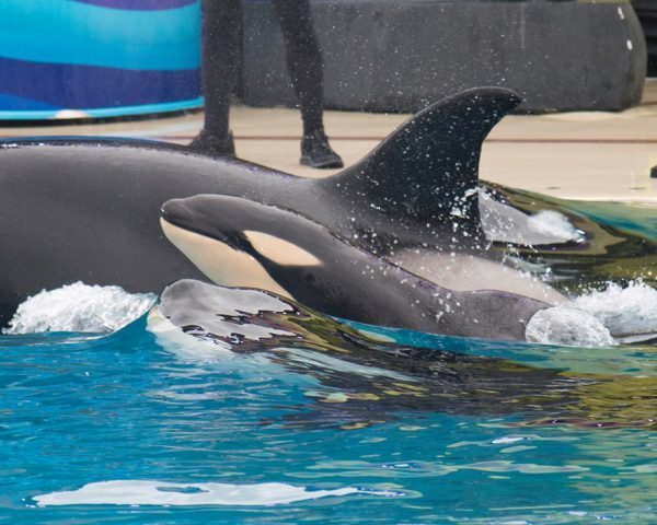 Killer whale born at SeaWorld California is strong and healthy