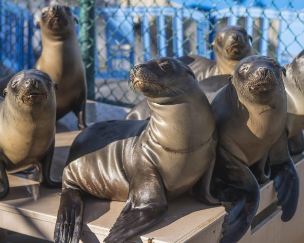 Record numbers of sea lions stranded on the California coast