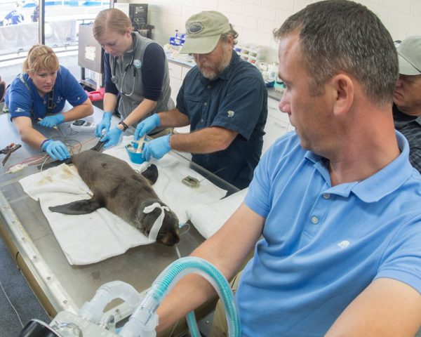 Rescued seal fitted with temporary satellite transmitter to aid scientific research into endangered species