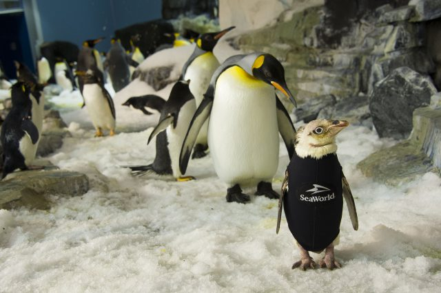 SeaWorld Orlando Creates One-Of-A-Kind Wetsuit For Penguin