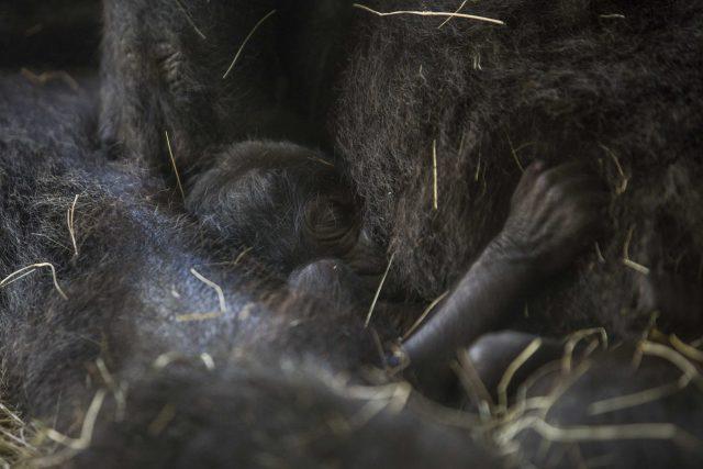 Busch Gardens Welcomes Endangered Baby Gorilla
