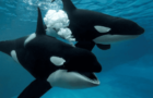 SeaWorld Publishes Groundbreaking Killer Whale Research, Creating Health Benchmarks for Wild Populations thumbnail image