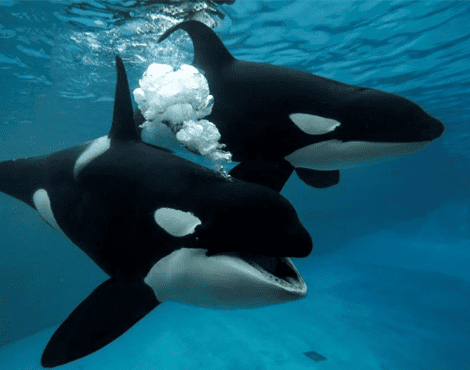 SeaWorld Publishes Groundbreaking Killer Whale Research, Creating Health Benchmarks for Wild Populations