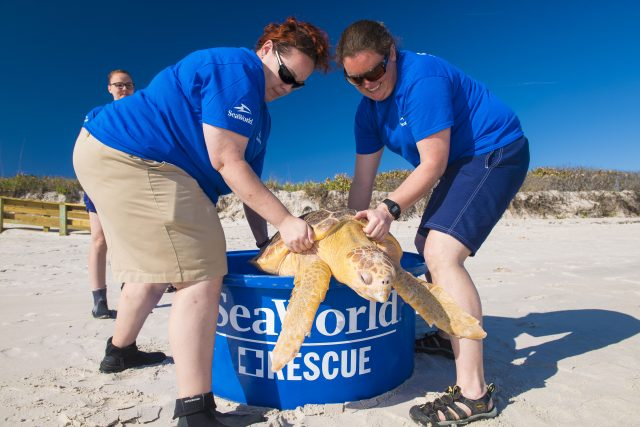 Four Loggerhead Turtles Returned To The Wild
