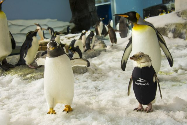 New Year, New Feathers for Wonder Twin, SeaWorld's Wetsuit-Wearing Penguin