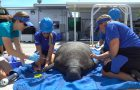 SeaWorld Rescue Team Helping With Spike In Manatee Rescues Due To Toxic Red Tide thumbnail image