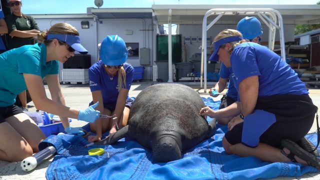 SeaWorld Rescue Team Helping With Spike In Manatee Rescues Due To Toxic Red Tide