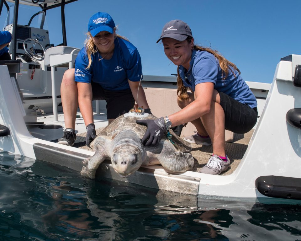 Rescued sea turtle returned to ocean after rehabilitation at SeaWorld San Diego