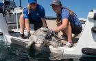 Rescued Sea Turtle Returned To Ocean After Rehabilitation At SeaWorld San Diego thumbnail image