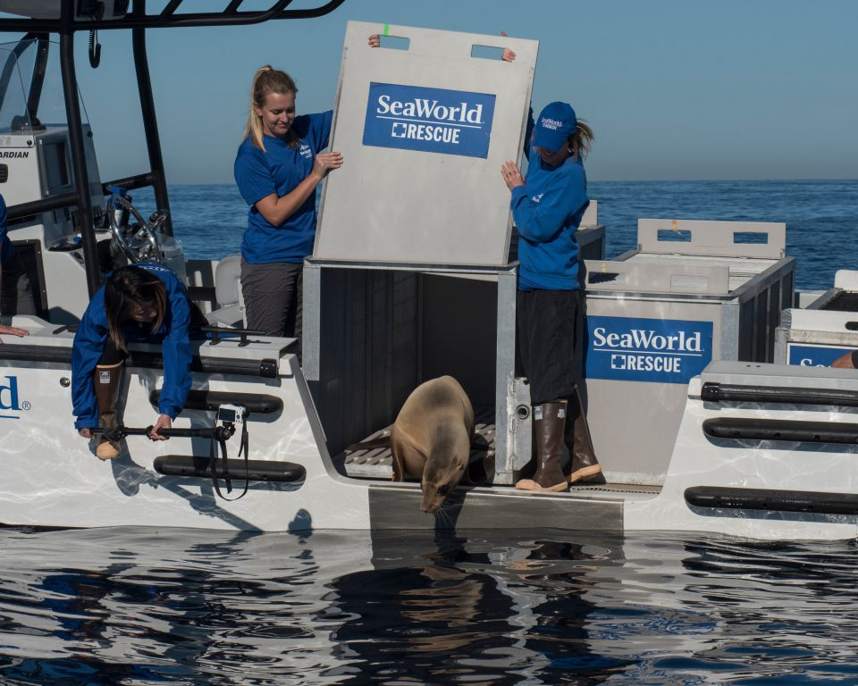 SeaWorld returns Rose the sea lion to her ocean home