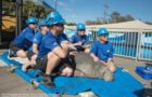 SeaWorld Orlando's First Cold Stressed Manatee Of The Year Arrives thumbnail image