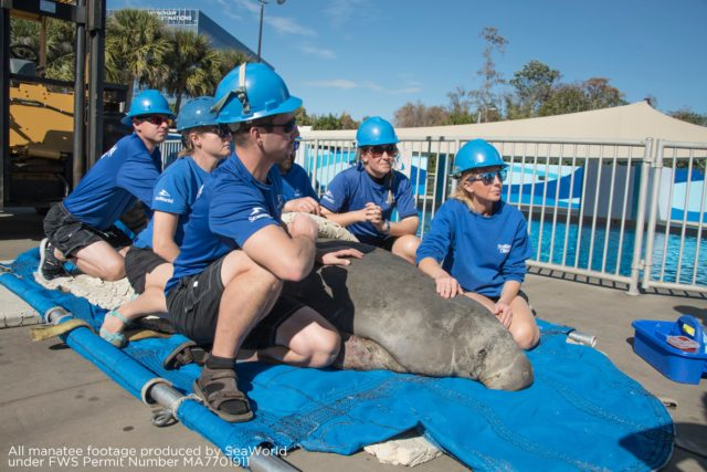 SeaWorld Orlando's First Cold Stressed Manatee Of The Year Arrives