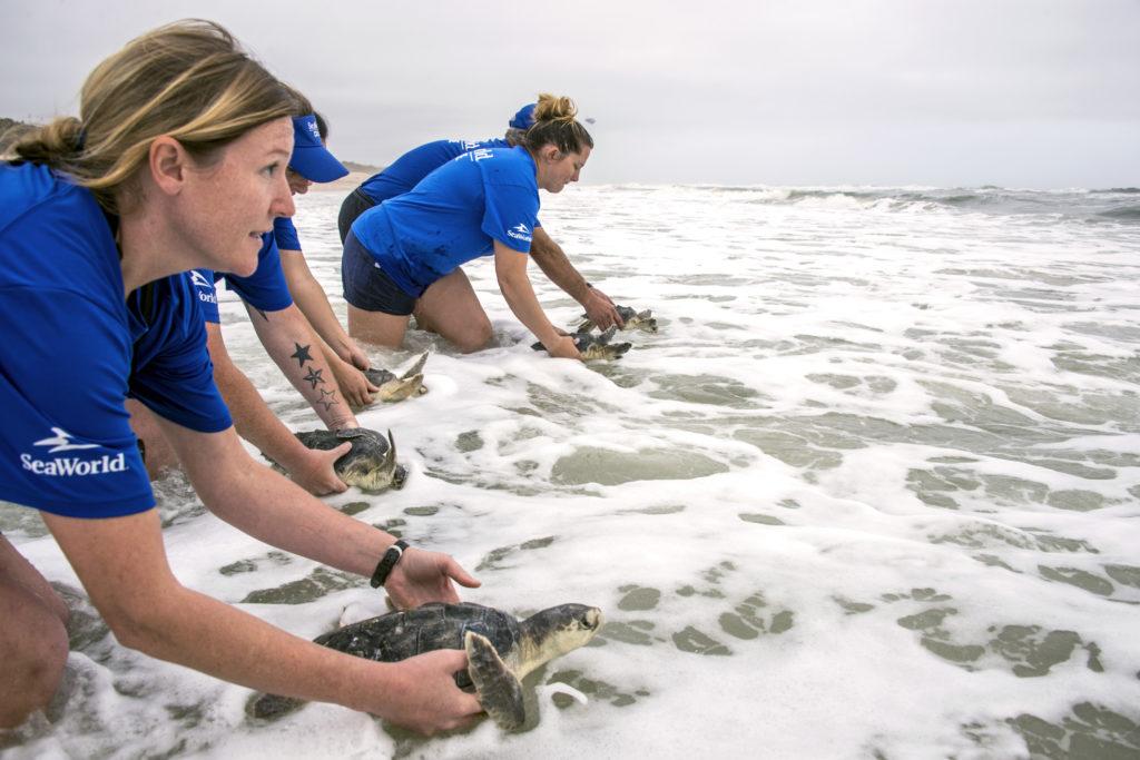Endangered sea turtles returned to ocean after months of specalised care