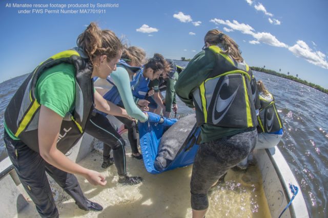 Seven Manatees Get a Second Chance at Life Following Months of Rehabilitation and Care