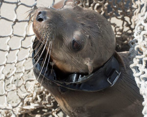 SeaWorld Team Rescues Sea Lion Pup With Head Stuck In Diver's Swim Mask