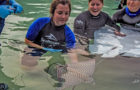 Discovery Cove Announces Birth of Spotted Eagle Ray Pups thumbnail image