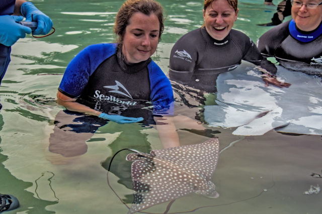 Discovery Cove Announces Birth of Spotted Eagle Ray Pups