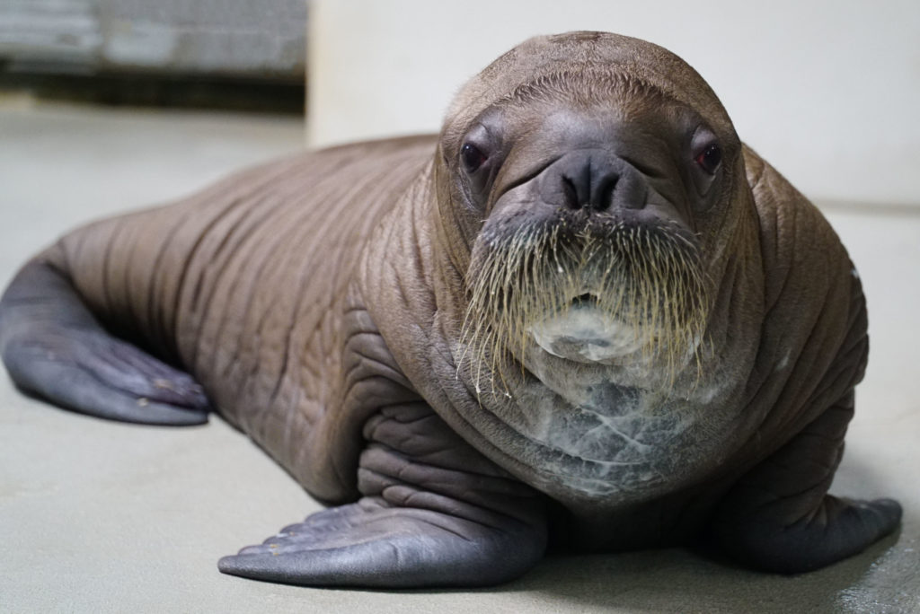 SeaWorld Orlando Proudly Welcomes Whiskered Baby Walrus