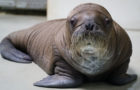 SeaWorld Proudly Welcomes Whiskered Baby Walrus thumbnail image