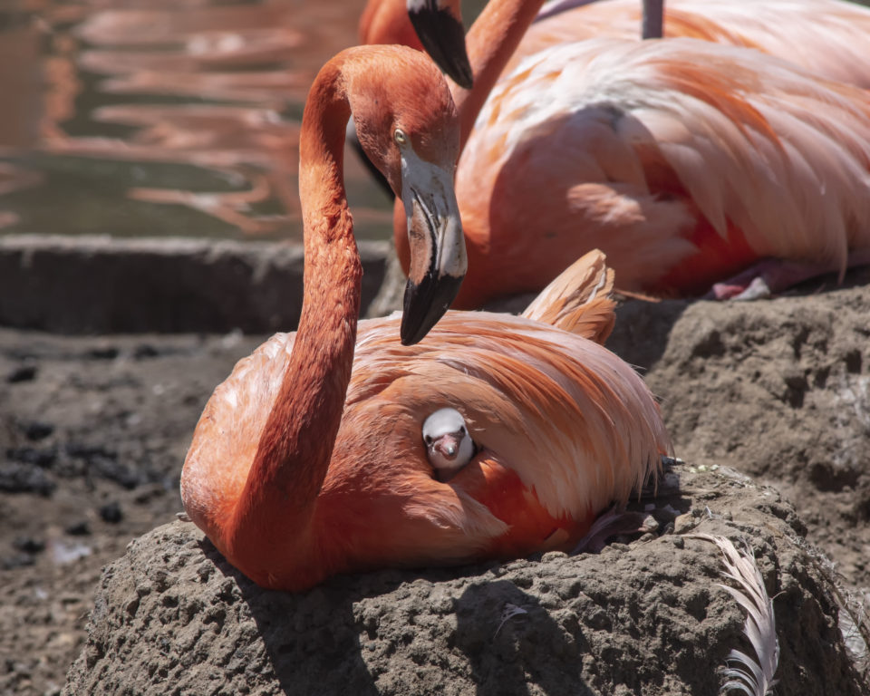 Flamboyance of flamingos born at SeaWorld San Diego