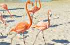 Discovery Cove Tickled Pink to Announce Flamboyance of Flamingos thumbnail image