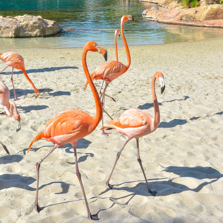 Discovery Cove announce flamboyance of flamingos