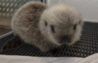 Rescued Sea Otter Gets Second Chance at Life at SeaWorld San Diego thumbnail image