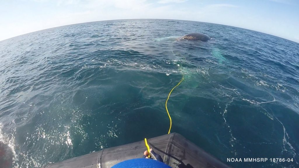 SeaWorld frees humpback whale entangled in fishing gear