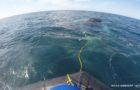 SeaWorld Rescue saves entangled humpback whale thumbnail image
