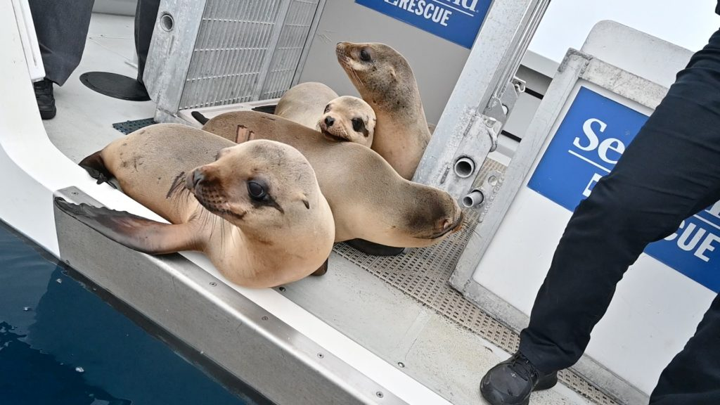 Rescued malnourished sea lion pups returned to the ocean